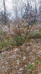花色が紅色で美しい山桜系の桜で、高知市内の仙台屋という店の庭にあったことから植物学者の牧野富太郎により、この名がつけられたといわれています。