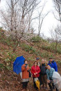 …仙台屋桜… 花は中輪、一重咲きで紅色。開花期は4月上中旬。
